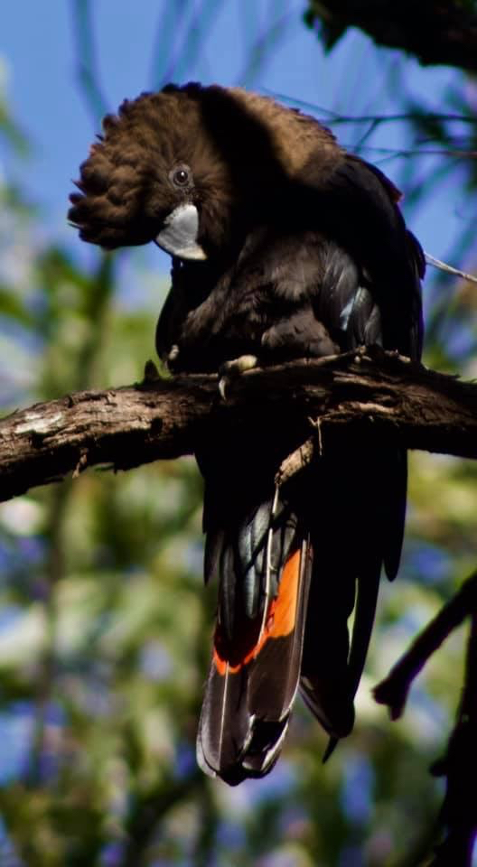 Jenni Knight's image. A stunning photo of the glossy black cockatoo, currently listed as vulnerable in NSW, the bushfires have destroyed vast areas of their habitat, threatening their survival even further.