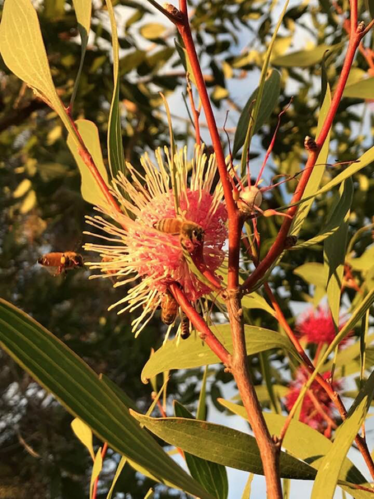 Jillian Edwards image. Hakea, catches some precious native bees deep in the act of pollination.