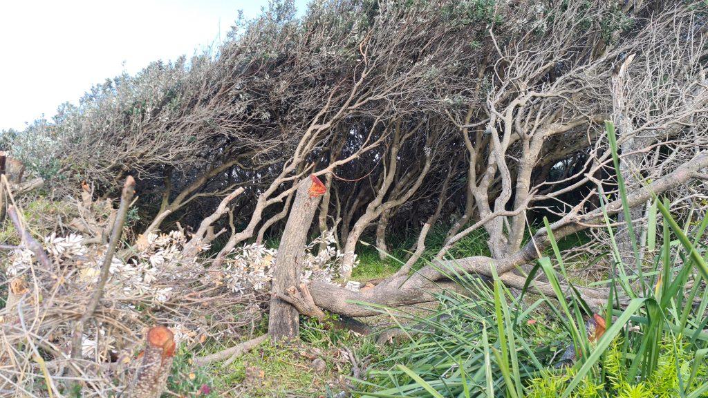 Banksia attack at Culburra Beach, September 2020. Environmental Vandalism at a local beach.