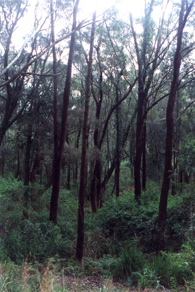 This photo shows the saved Swamp Mahogany Forest saved in 1999, Gerroa.