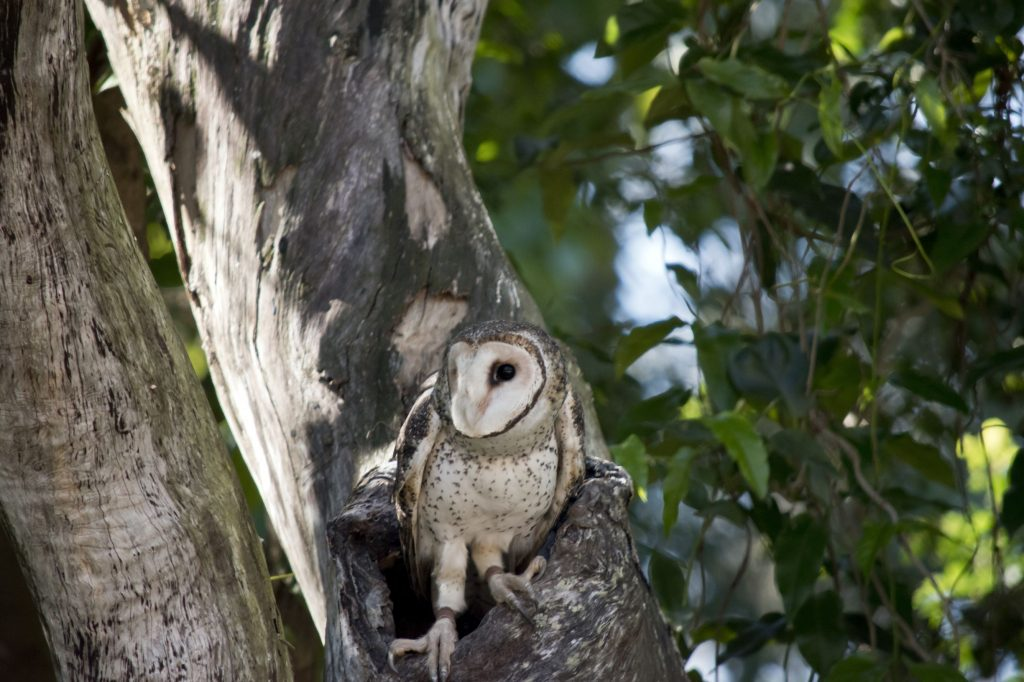 a variety of Australian wildlife depend on tree hollows for habitat, here is a sooty owl emerging out of her home