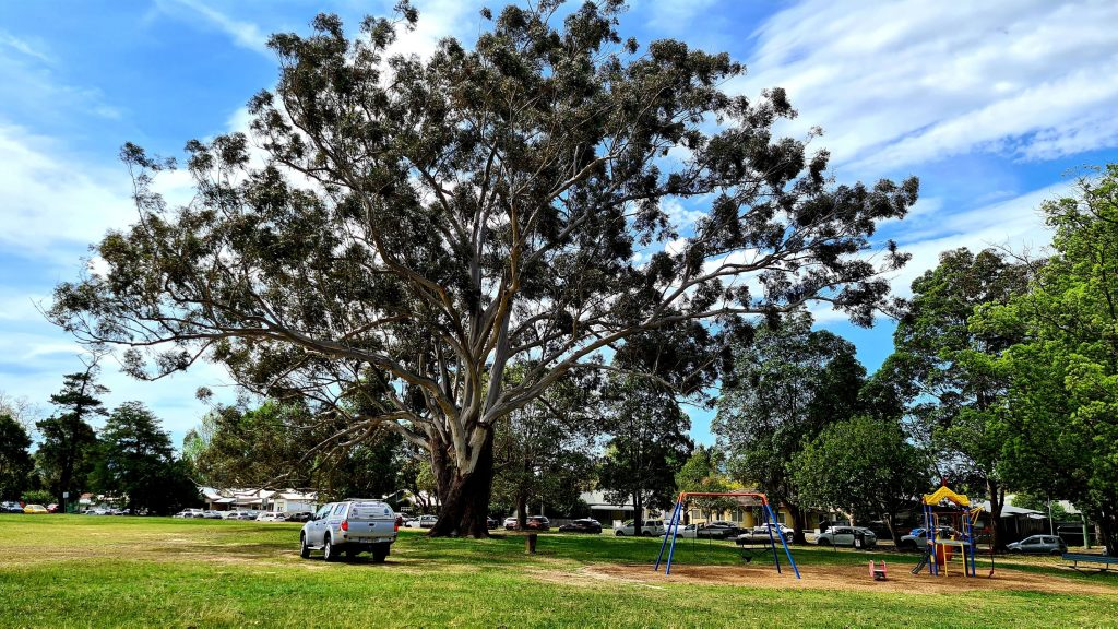 This blackbutt tree in Nowra Park near Shoalhaven Hospital would possibly be destroyed or damaged for a hospital expansion