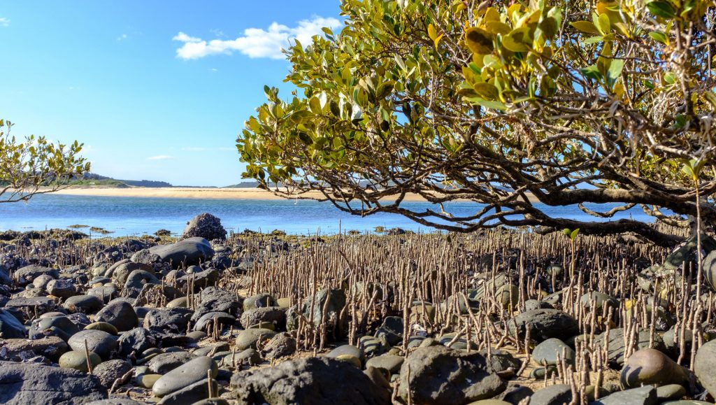 Australian Grey Mangroves provide a complex ecosystem that protects our shorelines and provides habitat for sea birds, many fish species, molluscs and crustaceans and nurseries for commercial fishing industries