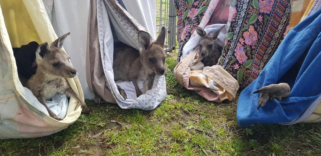 Volunteers make pouches and other much needed equipment for wildlife rescue and care centres that are also mostly run by volunteers. Kangaroos love these lovingly made hammock pouches