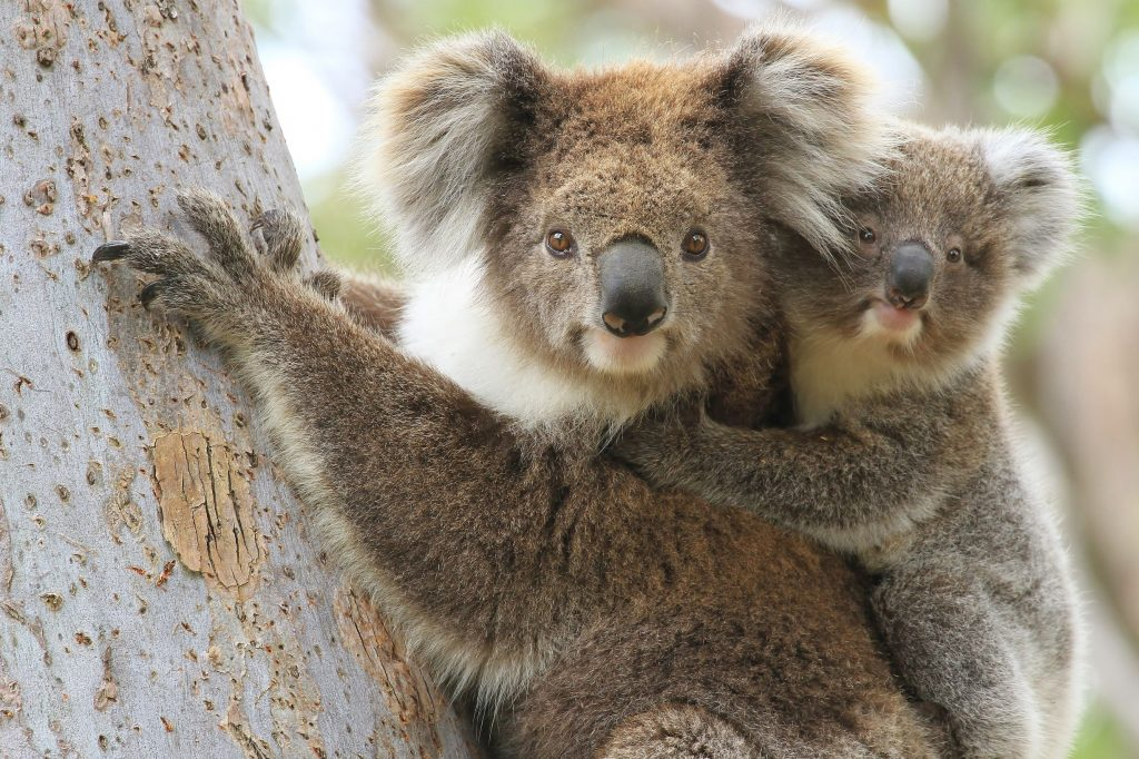 Female Koala and joey climbing a eucalypt tree