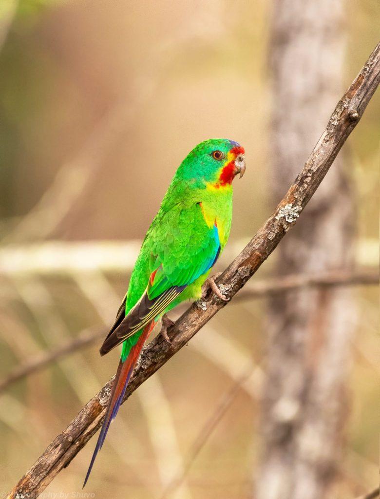endangered Swift Parrot in Mogo Forest